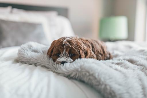 Seu pet dorme na sua cama? Saiba como manter a higiene